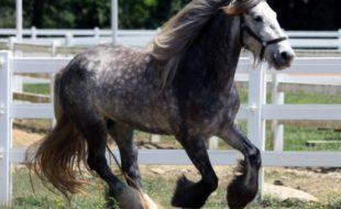 Provided photo The Dance Gypsy Vanner won by Winslow Therapeutic Center is a three-year-old black and gray mare that stands about 14.3 hands (or almost five feet tall). The breed is known for its calm temperament.